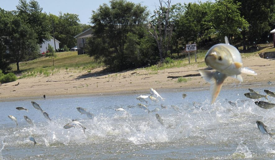 Asian carp, jolted by an electric current from a research boat, jump from the Illinois River near Havana, Ill., in this June 13, 2012, file photo. New, creative but more high-tech methods may finally be turning the tide in the fight against invasive species. Non-native plants and animals cost the world hundreds of billions of dollars a year. (AP Photo/John Flesher, File)