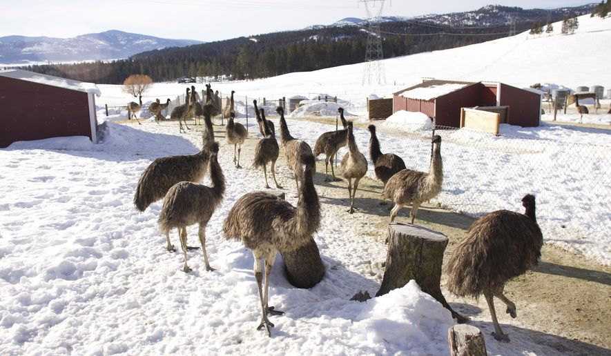 ADVANCE FOR THE WEEKEND OF APRIL 29-30 AND THEREAFTER - An Feb. 4, 2017 photo shows emus at Montana Emu Ranch in Kila, Mont. Emus were originally imported from their native Australia as breeding pairs for American zoos in the 1950s, with farming catching on in the late 80s.  But many emu ranches have since gone the way of the dodo. (Sally Finneran/Flathead Beacon via AP)
