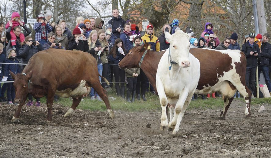 "Dairy cows are released into open fields for the lush summer pastures,  freed from the stables which have been their homes for the long winter months, in Drottningholm, Sweden, Saturday, April 29, 2017. The annual event, known in Sweden as ""koslapp"" or cow release, has become a popular family outing for many urban dwellers. (AP Photo/David Keyton)"