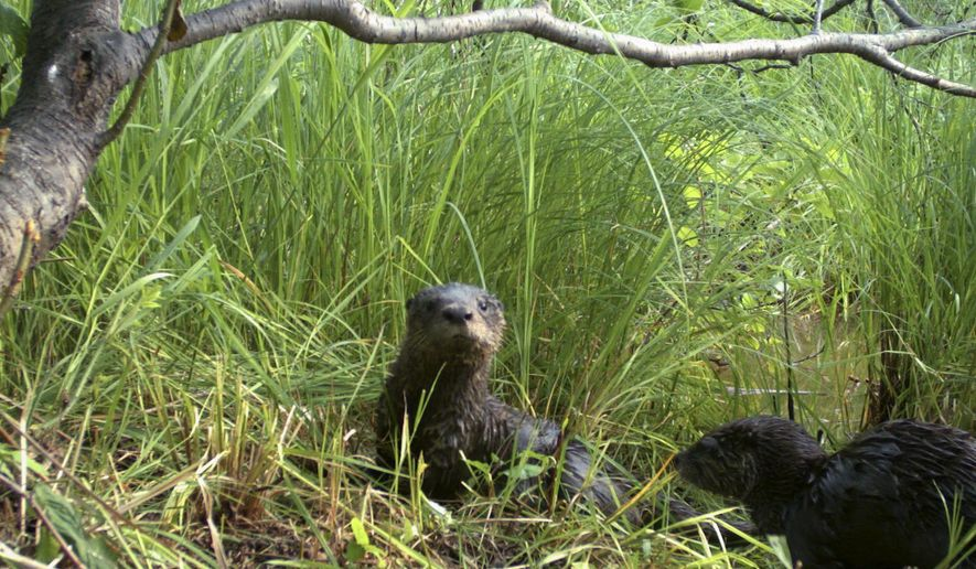 This July 2015 photo provided by the Wisconsin Department of Natural Resources shows a pair of North American river otters along a Lake Superior tributary in northern Wisconsin. North Dakota's Game and Fish Department this summer will propose an otter trapping season. If Gov. Doug Burgum approves, North Dakota will become the 34th state to allow the killing of otters. Preservation groups worry the expansion of otter trapping in the U.S. and Canada in recent decades isn't sustainable. (Nathan Roberts/Wisconsin Department of Natural Resources via AP)