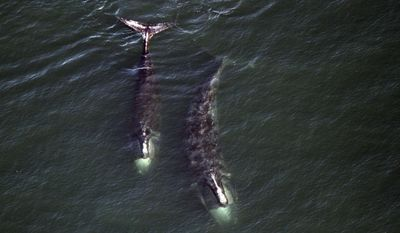 """In this Feb. 14, 2017 photo provided by the Center for Coastal Studies, a pair of right whales feed just below the surface of Cape Cod Bay off shore from Provincetown, Mass. Charles """"Stormy"""" Mayo, director of right whale ecology at center in Provincetown, said ominous signs suggest the global population of 500 animals is slowly declining. (Center for Coastal Studies via AP)"""