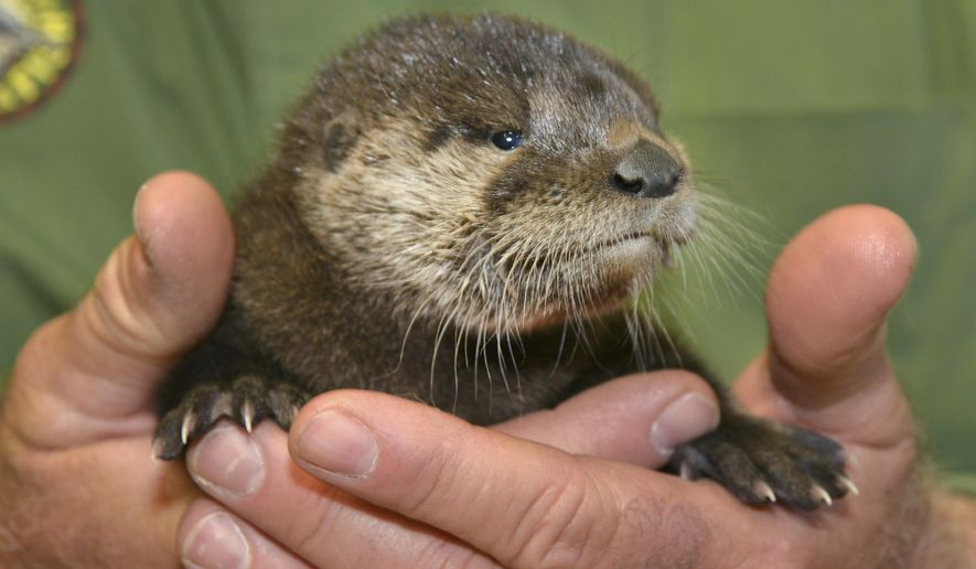 In this April 20, 2017, photo provided by the Arizona Game and Fish Department shows a rescued otter at the Adobe Mountain Wildlife Center in Phoenix, Arizona. The otter was described as dehydrated, hungry and infested with fleas when rescued, but Arizona Game and Fish wildlife staff cared for the otter and fed it a trout mash mixed with kitten's milk to provide appropriate nutrients. Once the otter's condition improved, it was handed off April 26 to Out of Africa Wildlife Park in Camp Verde. (George Andrejko/Arizona Game and Fish Department via AP)
