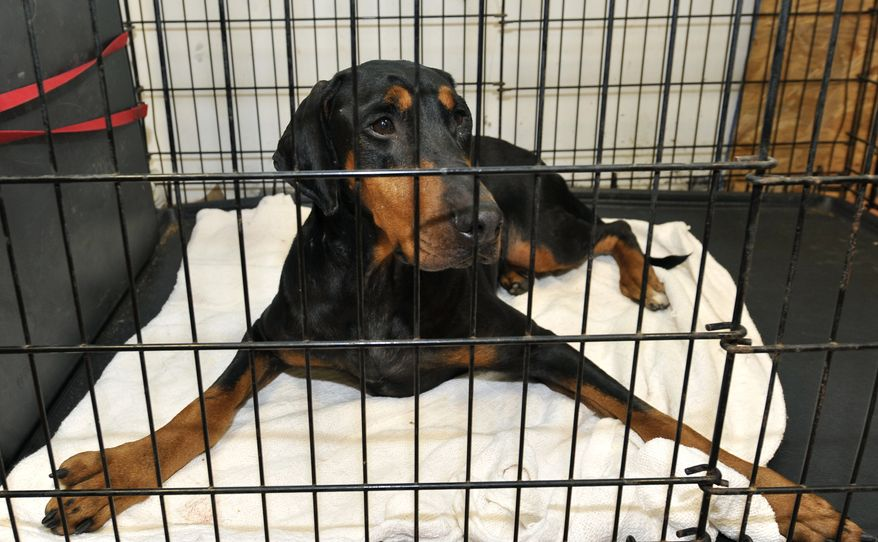 Cindy-Rella, an abused Doberman pinscher, is pictured at the Second Chance Wildlife Rescue facility in Farmingville, N.Y., on Oct. 14, 2010. (Associated Press) **FILE**