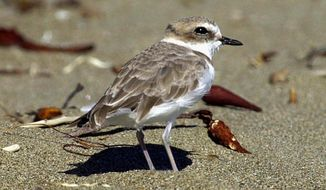 FILE - This Sept. 27, 2001, file photo shows a snowy plover at a beach nesting area in San Luis Obispo County on California's Central Coast. Federal officials said the western snowy plover is nesting along the Los Angeles County coast for the first time in nearly seven decades. The U.S. Fish and Wildlife Service reported Monday, May 8, 2017, that nests for the small, rare shorebird were found last month at Santa Monica Beach, Dockweiler State Beach, and Malibu Lagoon State Beach. (AP Photo/Reed Saxon, File)