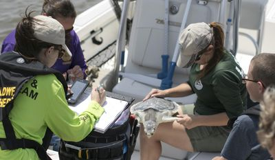 In this Wednesday, May 10, 2017, photo provided by the Audubon Nature Institute, the Louisiana Department of Wildlife and Fisheries the Audubon Nature Institute release a rehabilitated sea turtle into Lake Calcasieu in Cameron Parish near Lake Charles, La., nine months after being caught in a shrimper's trawl. (Jonathan Vogel/Audubon Nature Institute via AP)