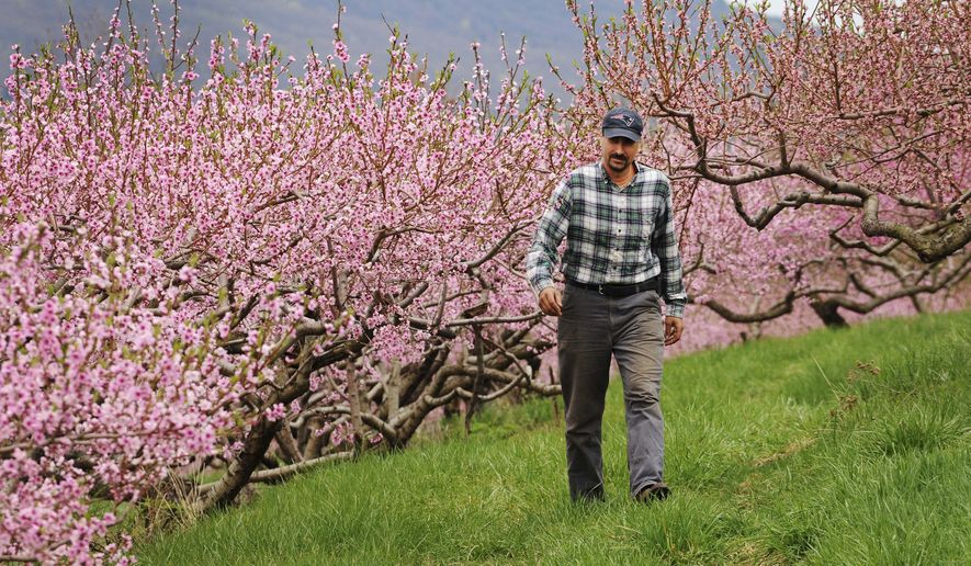 In this April 27, 2017 photo, Ben Clark walks among peach trees in full bloom at Clarkdale Orchards in Deerfield, Mass. A year after the peach crop in the northeastern U.S. hit the pits, growers and agricultural officials are anticipating a healthy rebound in 2017. (Paul Franz/Greenfield Recorder via AP)