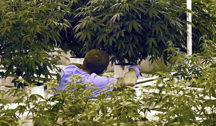 FILE - In this June 17, 2015 file photo, an employee checks a plant at LeafLine Labs, a medical marijuana production facility in Cottage Grove, Minn. Minnesota's medical marijuana providers have lost a combined $11 million in two years of legal sales, adding to the mounting problems for one of the nation's strictest programs. (AP Photo/Jim Mone, File)