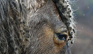 In this Monday, Jan. 23, 2017 photo, cockleburs fill the mane of a wild or abandoned horse left on 4,000 acres of land in Jackson, Ky. Curtis Bostic, an attorney from South Carolina, has leased the land and is attempting to turn it into a horse sanctuary. (AP Photo/Timothy D. Easley)