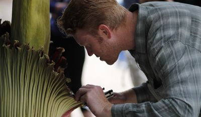 Greenhouse manager Edward Read examines the Amorphophallus titanum, better known as the corpse flower, at Cal State Fullerton Tuesday, May 16, 2017, in Fullerton, Calif.  The flower lets off a smell while blooming, that some say is akin to smelling like rotting flesh. (AP Photo/Jae C. Hong)