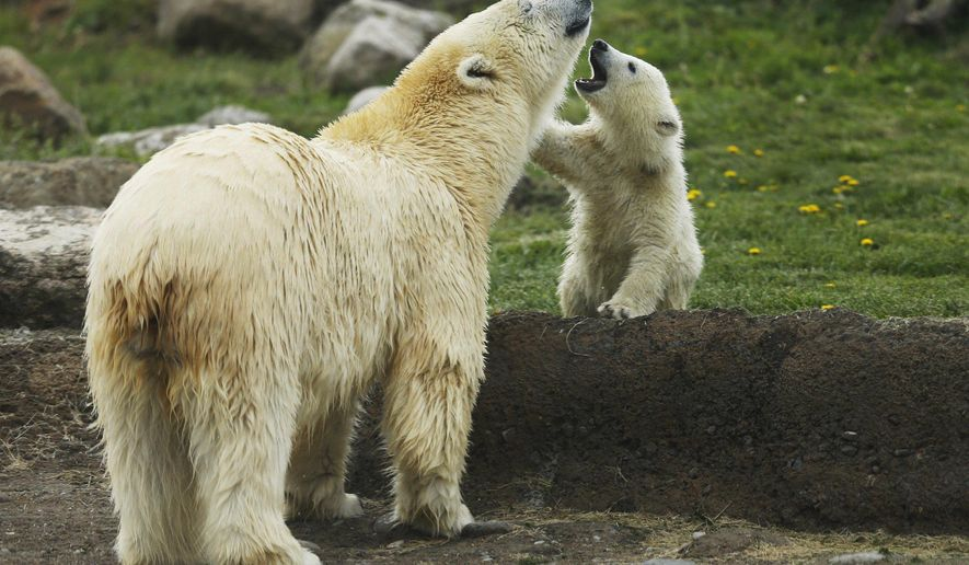 FILE - In this Wednesday, April 19, 2017, file photo, a polar bear cub makes its public debut with her mother Anana in their habitat at the Columbus Zoo and Aquarium in Powell, Ohio. The Columbus Zoo and Aquarium looked to the public for help in naming Anana's female cub born Nov. 8. Amelia Gray emerged as the winner in the worldwide contest. (Brooke LaValley/The Columbus Dispatch via AP, File)