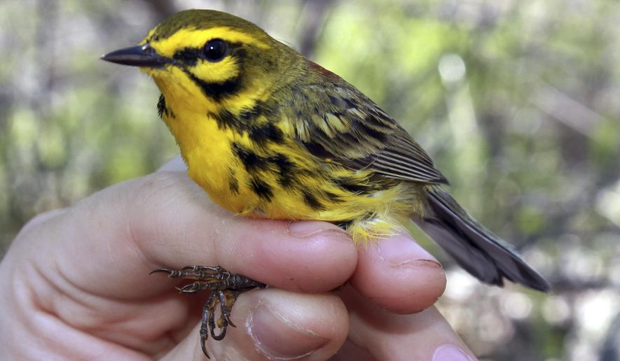 This May 2016 photo provided by Matt Tarr shows a prairie warbler in southeastern New Hampshire. Scientists will be banding scores of song birds in 2017 like the prairie warbler to better understand how they are using forests in New Hampshire and Maine that have been changed either by transmission lines or logging. (Matt Tarr via AP)