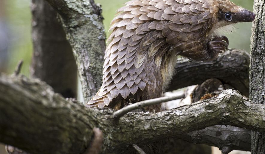 In this photo takenMay 17, 2017, a female white-bellied tree pangolin climbs on a limb at the Pittsburgh Zoo & PPG Aquarium. (Steph Chambers/Pittsburgh Post-Gazette)