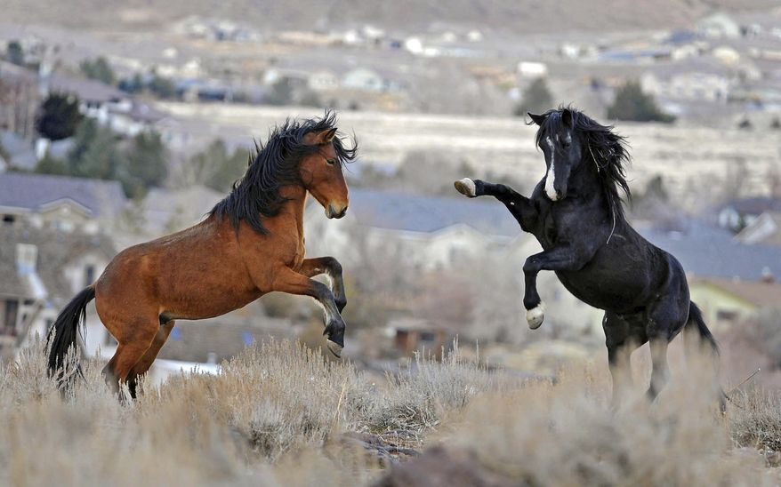 In this Jan. 13, 2010, file photo, two young wild horses play while grazing in Reno, Nev. Wild horse advocates say President Trump's new budget proposal would undermine protection of an icon of the American West in place for nearly a half century and could send up sending thousands of free-roaming mustangs to slaughter houses in Canada and Mexico. (Andy Barron/The Reno Gazette-Journal via AP) ** FILE **