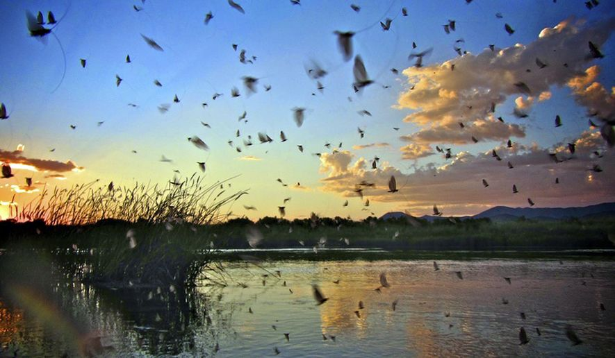 This undated photo provided by The Nature Conservancy shows birds flying over Silver Creek at The Nature Conservancy's Silver Creek Preserve near Picabo, Idaho. The reputation of what is generally considered Idaho's premier and nationally renowned fly fishing destination has taken a beating with three years of drought. But Silver Creek could get its groove back this opening weekend of the 2017 fishing season with a good water year that is filling the creek and, anglers hope, drawing back trout. (Hamilton Wallace/The Nature Conservancy via AP)
