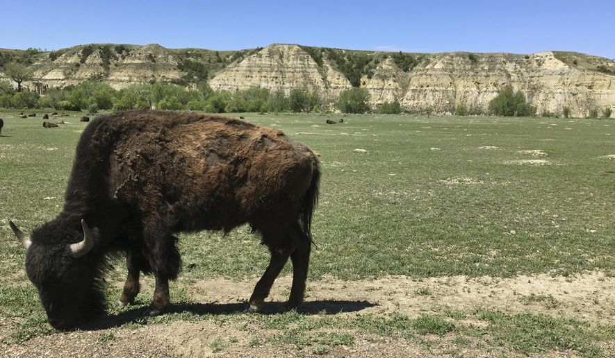 In this Wednesday, May 24, 2017, photo, a bison munches grass in Theodore Roosevelt National Park in western North Dakota. A company wants to build an oil refinery about 3 miles from the park, but some worry about air pollution in the park. (AP Photo/Blake Nicholson)