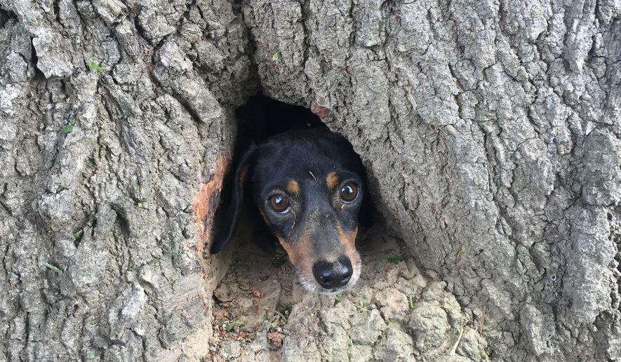 In this photo provided by the Kentucky State Police, Rocco, a dachshund, peeks his head through the trunk of a tree in Salem, Ky., Thursday, June 1, 2017. Rocco, a dachshund, peeks his head through the trunk of a tree in Salem, Ky., Thursday, June 1, 2017. A couple of Kentucky State Police troopers and a firefighter have proved that man can be dog's best friend by coming to the rescue of a dachshund trapped inside a tree trunk.  (Kentucky State Police via AP)