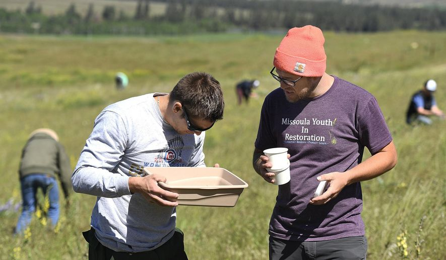 In this May 24, 2017, photo Luke Barrett, left, and Bryce Christiaens examine a pan full of weevils during a volunteer effort to collect the bugs and transplant them to other areas on the National Bison Range near Moise, Mont. (Tommy Martino/The Missoulian via AP)