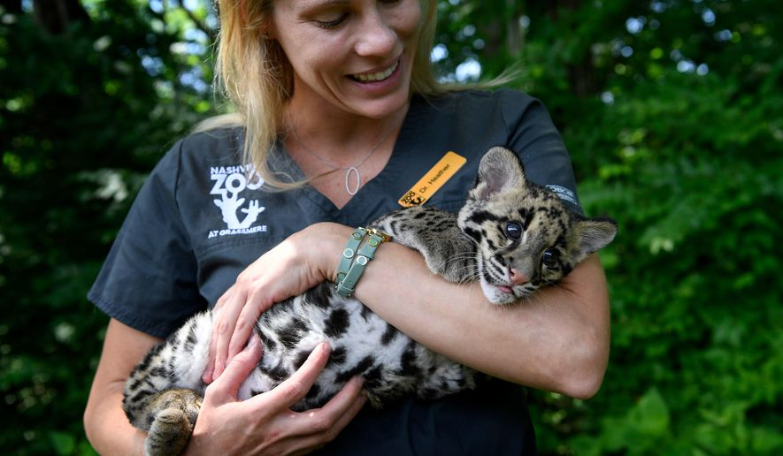 In this Friday, May 26, 2017 photo, Veterinarian Heather Robertson holds Niran, a clouded leopard cub, at the Nashville Zoo at Grassmere. Niran was born through a breakthrough in science. (Lacy Atkins /The Tennessean via AP)