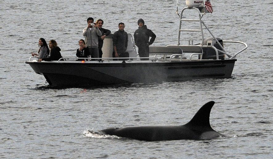 File - In this Dec. 20, 2016, file photo, whales are seen off the coast of Long Beach, Calif., from the La Espada whale watching ship from Harbor Breeze Cruises. The Trump administration on Monday, June 12, 2017, threw out a new rule intended to limit the numbers of endangered whales and sea turtles getting caught in fishing nets off the West Coast, even though the fishing industry had proposed the measure. (AP Photo/Nick Ut, File)