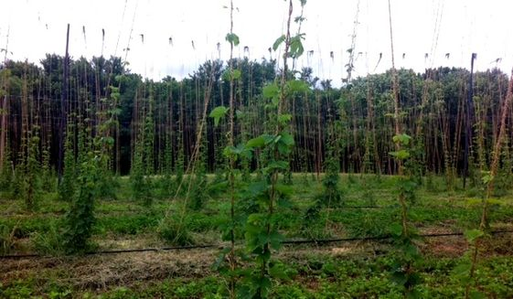 Hops are a crucial ingredient in beer, and are now grown in states like Virginia.  (Nicole Ault / The Washington Times)