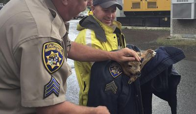 In this photo provided by the California Highway Patrol Truckee office, California Highway Patrol Sgt. Randy Fisher, left, pets a fawn he rescued Monday, June 19, 2017, in Truckee, Calif. Fisher says he freed the deer's left back leg from the drainage ditch, placed it on the side of the road and waited for its mother to show up. When her mother did not come to get her, Fisher wrapped her in his sergeant's jacket, put it in his patrol car and drove it to a veterinary. (CHP Truckee via AP)