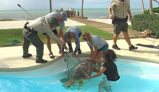 In this photo provided by the Florida Keys News Bureau, officials from the Florida Keys-based Turtle Hospital and the Florida Fish and Wildlife Conservation Commission rescue an adult female loggerhead sea turtle from an oceanside residential pool Monday, June 19, 2017, in Islamorada, Fla. Officials believe that the turtle came up to the beach to lay eggs, but became disoriented and accidentally made its way to the pool. After an examination, the turtle was released back in the Atlantic Ocean. (Bob Care/Florida Keys News Bureau via AP)