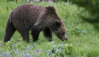 In this Wednesday, July 6, 2011, file photo, a grizzly bear roams near Beaver Lake in Yellowstone National Park. The U.S. Interior Department announced Thursday, June 22, 2017, that the grizzly population in the Yellowstone vicinity has recovered and federal protections will be lifted, which will allow Montana, Wyoming and Idaho to hold limited bear hunts outside park boundaries. (AP Photo/Jim Urquhart, File) **FILE**
