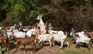 In this June 2017 photo, a herd of goats, owned by Goat Guys organic brush removal service, are used to clear out dense brush from the home of Bob Davidson in Murfreesboro, Tenn. (Nancy DeGennaro/The Daily News Journal via AP)