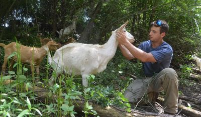 In this June 2017 photo,  Josh Delozier, co-owner of Goat Guys organic brush removal service pets his favorite goat, Uno, during a job at the home of Bob Davidson, who hired the business to remove brush from a historic cemetery he plans to renovate in Murfreesboro, Tenn. (Nancy DeGennaro /The Daily News Journal via AP)