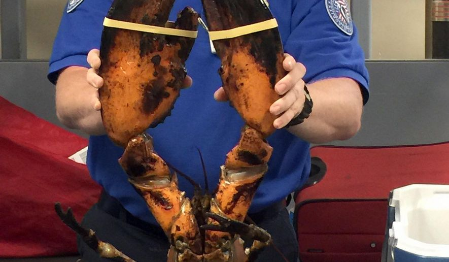 "This Sunday, June 26, 2017, photo provided by Transportation Security Administration (TSA) shows a TSA agent holding a live lobster that weighs roughly 20 pounds at Boston's Logan International Airport. TSA spokesman Michael McCarthy said Monday, June 26, that the lobster found Sunday in the passenger's checked luggage at the airport's Terminal C is the ""largest"" he'd ever seen. (Transportation Security Administration via AP)"