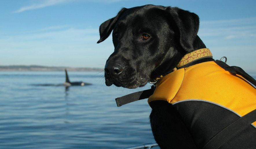 In this 2012 photo provided by the Center for Whale Research, a dog trained to sniff for orca scat sits on a boat in the Salish Sea in Washington state. A new study to be published Thursday, June 29, 2017, says that the small population of endangered Puget Sound orcas are having pregnancy problems due to stress from not getting enough salmon to eat. (Center for Whale Research via AP)