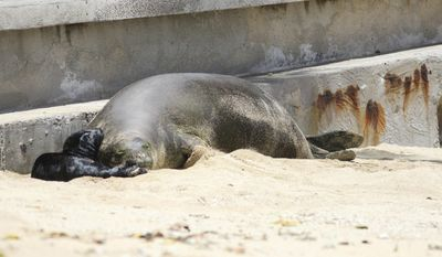 This Thursday, June 29, 2017 photo shows a Hawaiian monk seal and her newborn pup on a Waikiki beach in Honolulu. The pup, born late Wednesday or early Thursday, is the first seal to be born in the densely populated tourist district since the National Oceanic and Atmospheric Administration began keeping track in the 1970s. (AP Photo/Audrey McAvoy)