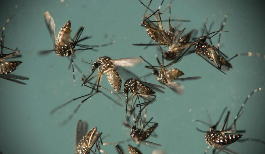 In this Sept. 29, 2016, file photo, Aedes aegypti mosquitoes, responsible for transmitting Zika, sit in a petri dish at the Fiocruz Institute in Recife, Brazil. (AP Photo/Felipe Dana, File)