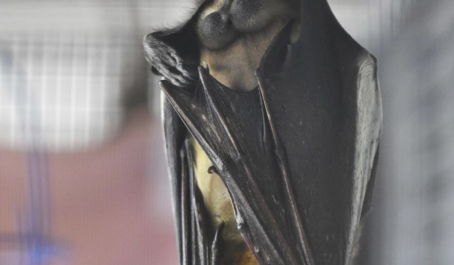 An Indian Flying Fox bat hangs at the Organization for Bat Conservation in Pontiac, Mich. on June 12, 2017. The organization recently moved into a new, larger location for its new Bat Zone. (Robin Buckson/Detroit News via AP)