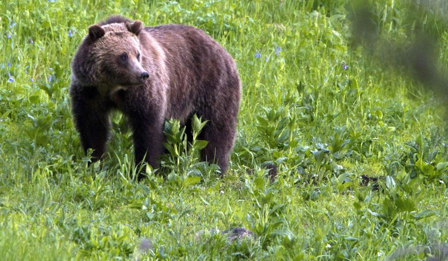 FILE - This July 6, 2011, file photo shows a grizzly bear roaming near Beaver Lake in Yellowstone National Park, Wyo. At least three different legal challenges were launched Friday, June 30, 2017, against the U.S. government's decision to lift protections for grizzly bears in the Yellowstone National Park area that have been in place for more than 40 years. (AP Photo/Jim Urquhart, File)