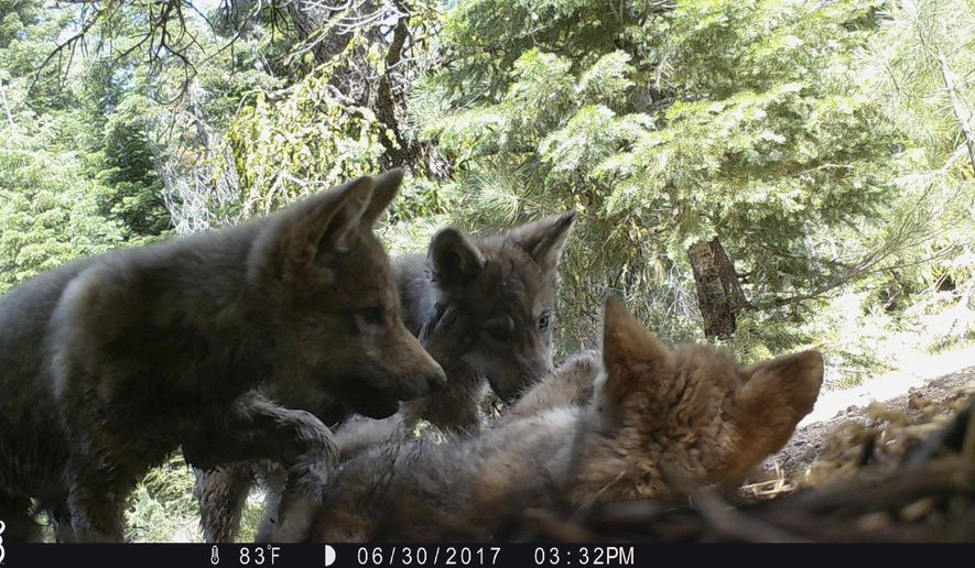 This June 30, 2017, remote camera image released by the U.S. Forest Service shows a female gray wolf and her mate with a pup born this year in the wilds of Lassen National Forest in Northern California. California wildlife officials said Wednesday, July 5, the female gray wolf and her mate have produced this one and at least two other pups this year in the wilds of Lassen County. (U.S. Forest Service via AP)