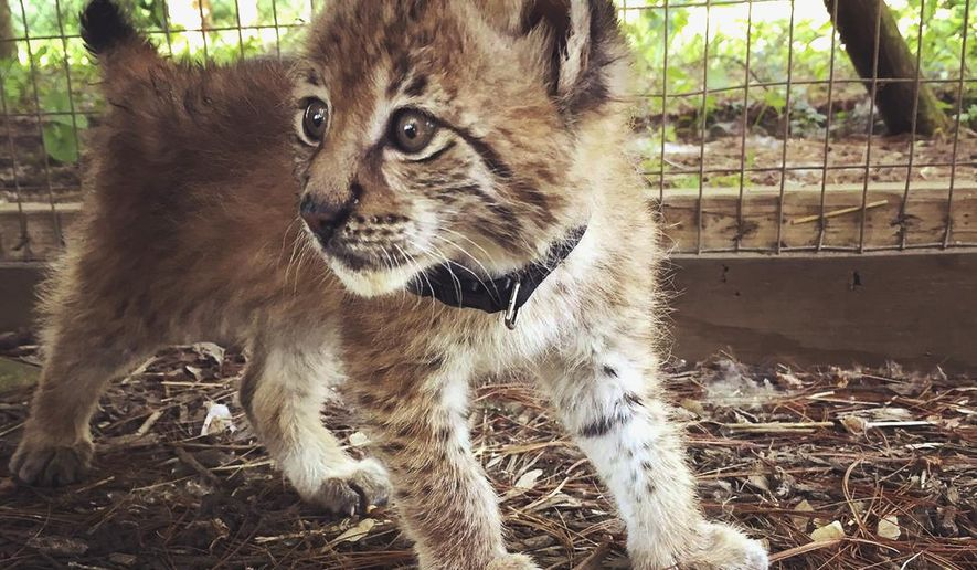 This undated photo provided by the Animal Gardens Petting Zoo in Delavan, Wis., shows a Siberian Lynx named Mowgli, one of two 7-week-old lynx that have gone missing from the facility. Animal Gardens caretaker Danette Vincenti says the staff at the zoo last saw the lynx about 5 p.m. Monday, July 3, 2017. Vincenti believes the top of the cats' cage was sliced open to make it look like they escaped. She says it's likely someone stole them and is trying to sell them on the black market. (Danette Vincenti/Animal Gardens Petting Zoo via AP)