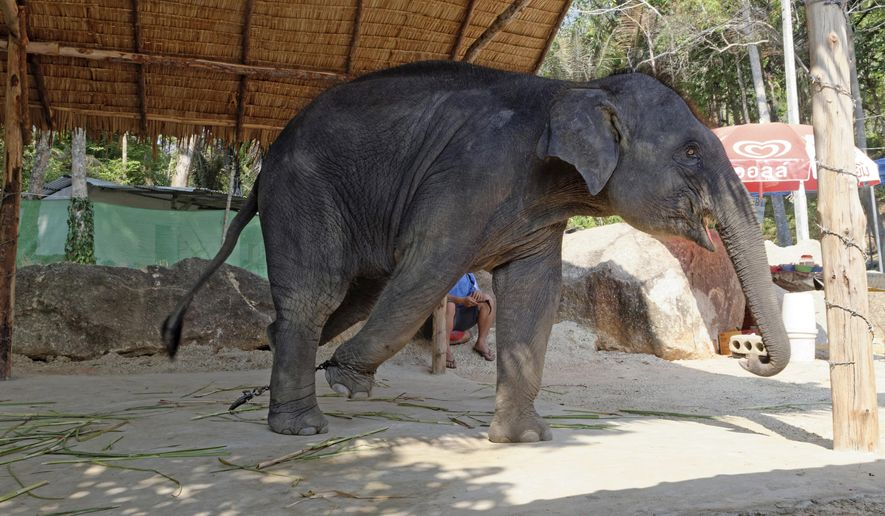 This undated photo released by World Animal Protection, shows an elephant used for entertainment at a venue in Thailand. An animal protection group says it wants tourists to know,  that elephant on which you took a ride during your vacation in Thailand is probably a miserable victim of abuse. London-based World Animal Protection in a report released Thursday, July 6, 2017 says its survey of almost 3,000 elephants employed in entertainment venues in Thailand, Laos, Cambodia, Nepal, Sri Lanka and India found that three out of four are living in poor and unacceptable conditions. (World Animal Protection via AP)