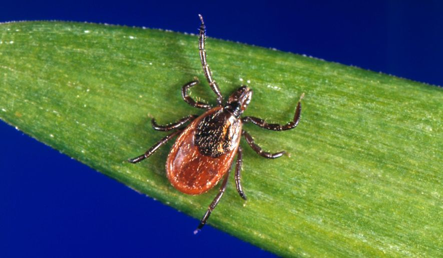 This undated photo provided by the U.S. Centers for Disease Control and Prevention (CDC) shows a blacklegged tick - also known as a deer tick. With a bumper crop of blacklegged ticks possible this season, researchers in a Lyme disease-plagued part of New York's Hudson Valley are tackling tick problems across entire neighborhoods with fungal sprays and bait boxes. (CDC via AP)