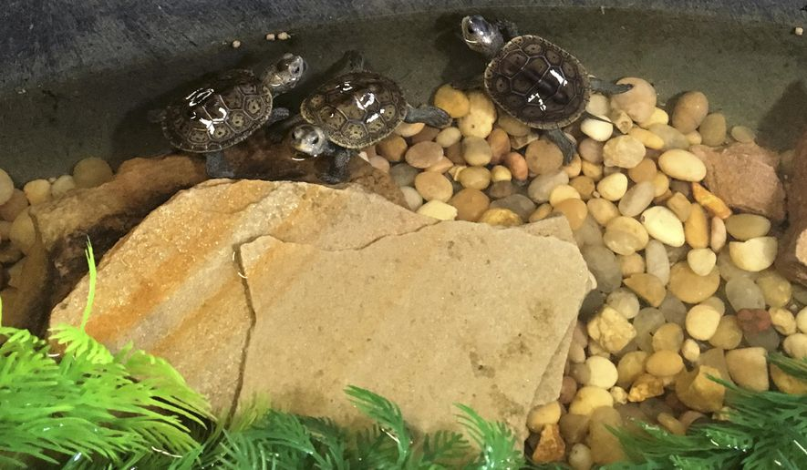 This September 2016 photo provided by the Louisiana Department of Wildlife and Fisheries, shows diamondback terrapins about a month after they hatched, at the Mandeville, La., home of Rachael and Stephen Creech. The turtles are being returned Thursday, July 6, 2017, to the barrier island where their mother laid the eggs. (Keri Landry/Louisiana Department of Wildlife and Fisheries via AP)