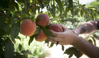 In this Thursday, July 6, 2017 photo, Jay Hutton picks peaches at Hutton Peach Farm in Weatherford, Texas. Experts say the mild Texas winter hampered this year's peach crop in parts of the state. The North Texas harvest appears to be bountiful, but growers in some other areas of the state faced challenges.  (Joyce Marshall/Star-Telegram via AP)