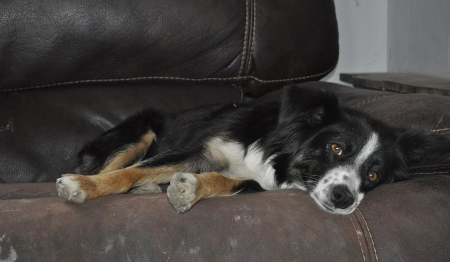 Oakley, a miniature Australian shepherd, sits on the couch of her home, June 15, 2017 in Powell, Wyo. Oakley nursed an orphan lamb last spring. She then claimed a goat kid after its mom died. 'She has attempted to steal kittens as well, but their mothers aren't nearly as agreeable as we are,' said Oakley's owner, Keela Hopkin. (Tessa Baker/Powell Tribune via AP)