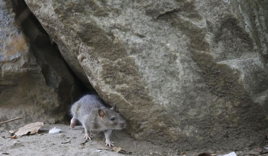 FILE - In this Thursday, Sept. 17, 2015 file photo, a rat leaves its burrow at a park in the Chinatown neighborhood of New York. New York City has announced Wednesday, July 12, 2017, a $32 million, multi-agency plan to reduce the rat population. (AP Photo/Mary Altaffer, File)
