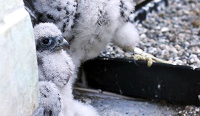 """This June 21, 2017 photo provided by volunteer nest monitor Mary Malec shows peregrine falcons """"Lux,"""" front, and """"Fiat"""" at the University of California, Berkeley. Lux, one of two baby peregrine falcons born on the university campus, died after flying into a window, university officials said Wednesday, July 12. (Mary Malec via AP)"""