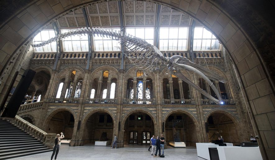 A blue whale skeleton is exhibited in the Hintze Hall at the Natural History Museum in London, Thursday July 13, 2017, replacing the Diplodocus dinosaur which will go on a tour of Britain. Britain's Kate, Duchess of Cambridge, Patron of the Natural History Museum, is due to attend the opening of the museum's new Hintze Hall on Thursday. (Steve Parsons/PA via AP)