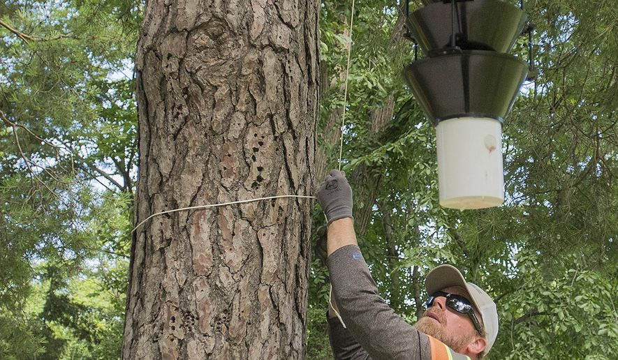 In this Thursday, July 6, 2017 photo, Patrick Walrath, an industry inspector with the Department of Agriculture, lowers an insect trap in Sibley Park in Mankato, Minn. The traps use different pheromones to attract different kinds of insect. (Jackson Forderer/The Free Press via AP)