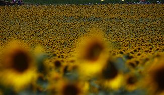 The pack passes a field of sunflowers during the fourteenth stage of the Tour de France cycling race over 181.5 kilometers (112.8 miles) with start in Blagnac and finish in Rodez, France, Saturday, July 15, 2017. (AP Photo/Peter Dejong)