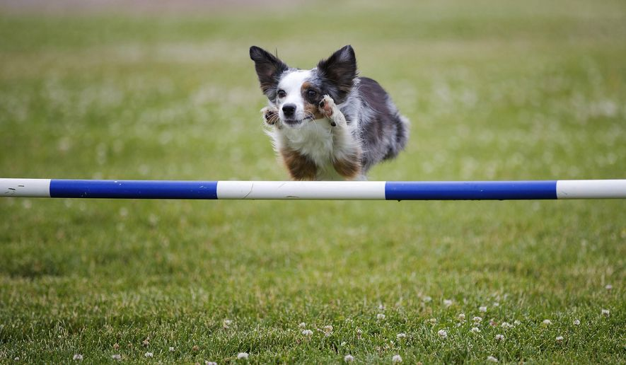 Pixel, a five-year-old miniature American shepherd, leaps over a jump while training Friday, June 16, 2017, in Omaha, Neb. The 5-year-old miniature American shepherd from Omaha has a shot at global glory in Italy as she trains to be the quickest dog in the nation and perhaps the world. (Rebecca Gratz/Omaha World-Herald via AP)