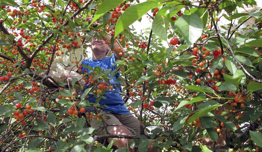 In this July 9, 2017 photo, a customer sits in a tree picking sour cherries at Shelburne Orchards in Shelburne, Vt. When the sour cherries ripen at a handful of orchards in Vermont, devotees of the bright red fruit need to be at the right place at the right time to pick their batch. (AP Photo/Lisa Rathke)