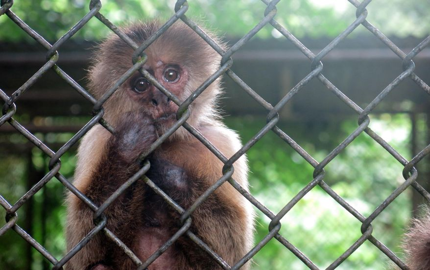 In this  July 7, 2017 photo, a monkey stares out from its enclosure at the Dr. Juan A. Rivero Zoo in Mayaguez, Puerto Rico. The economic crisis afflicting Puerto Rico for the last decade has also taken a toll on the island's only zoo, with critics saying it is sorely understaffed and struggling to care for its animals on a limited budget.  (AP Photo/Danica Coto)